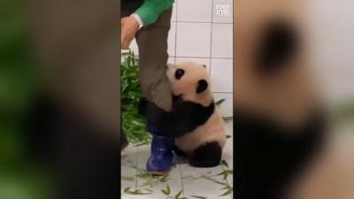 Viral: panda bebé protagoniza tierno momento con su cuidador y las redes estallan
